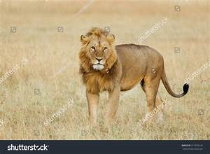 Dominant Male Lion Staring Into The Distance Stock Photo ...