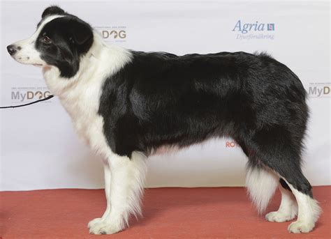 Border Collie Wikimedia Commons