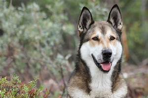 East Siberian Laika | Dog Breed Plus