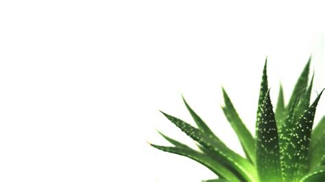 minimalist plants nature minimalistic plants macro simple white background succulents wallpaper 1920x1080