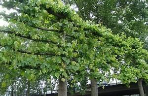 Spalierobst Gerüst Selber Bauen : so er zieht man sich einen spalierbaum f r den balkon ~ Eleganceandgraceweddings.com Haus und Dekorationen