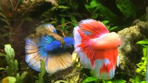 poissons d aquarium zierfische guppy platy betta splendens cardinia carassius auratus