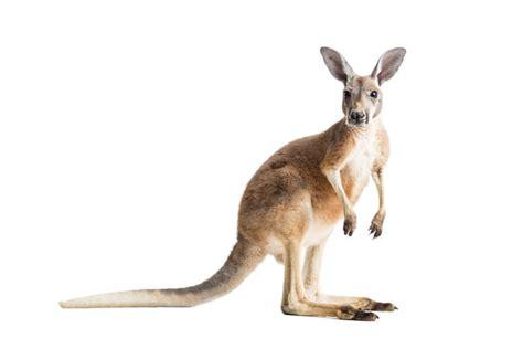 toxoplasmosis   herd  kangaroos texas