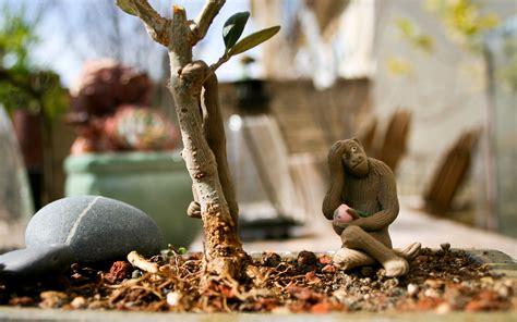 bonsai olive tree monkey background wallpaper  terry