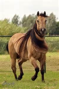 Buckskin Quarter Horse Stallion