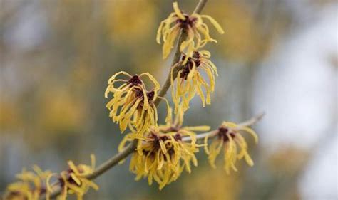 how to grow witch hazel how to grow witch hazel trees for mid winter colour and scent garden life style express
