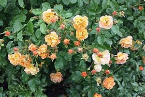 Wann Schneidet Man Rosen Zurück : wann werden rosen geschnitten native plants gartenblog ~ Orissabook.com Haus und Dekorationen