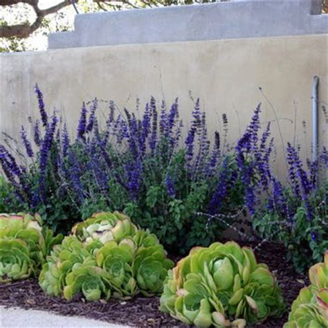 southern california plants drought tolerant yard in southern ca google search cindy s beach front yard pinterest