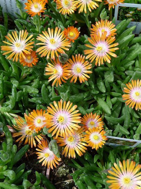 plante grasse fleur plante grasse a fleur orange fleur coeur jaune