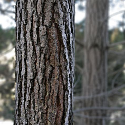 bark of tree could tree bark keep you alive the sleuth journal