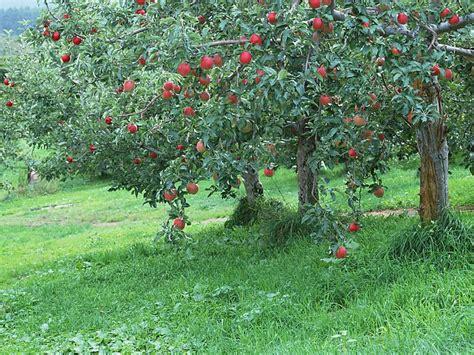 Apples Tree In Farm 16 Wallcoonet