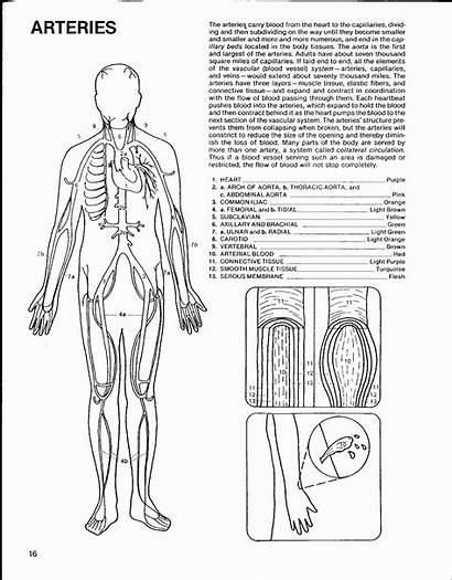 Coloring Circulatory System Pages Pdf Library Clipart