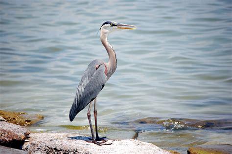 Herons Of The Texas Gulf Coast