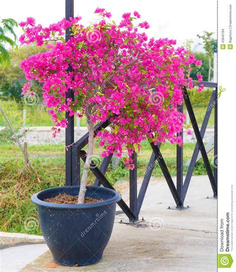 pink bougainvillea flower in pot stock photo image 43846784