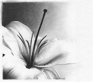 Black And White Lily Flower Drawings | www.imgkid.com ...