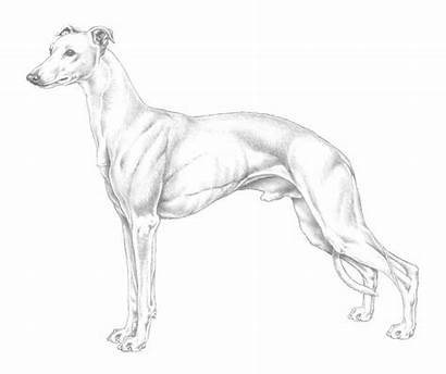 Whippet Dog Greyhound Whippets Coloring Colouring Drawing