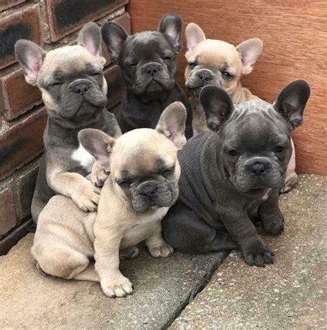 french bulldog puppies  sale     vet