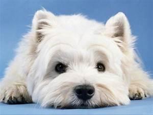 westie dog wallpaper