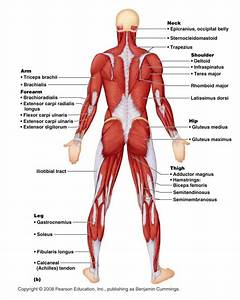 Muscles   6 Muscular System Pictures Labeled   Anatomy