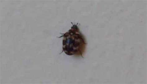 Carpet Beetle Effect On Carpets And Health Dales Carpet Cleaning Grass Valley Ca Centre Dandenong South How Many Square Feet Stairs Cleaners Ontario Best Cleaner For Stainmaster Jute Runners Uk Family Time Tampa David Hall Carpets Ltd Fulwood Preston
