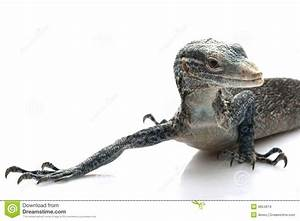 Blue Tree Monitor Lizard Stock Images - Image: 9854614