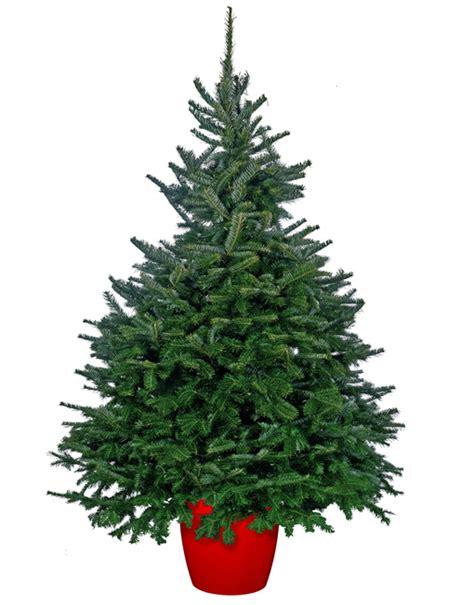 fraser fir christmas trees delivered
