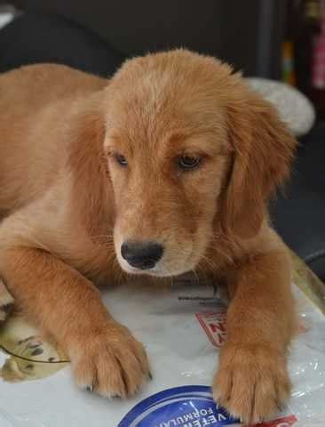 Golden Retriever Puppy For Sale Adoption From Kuala Lumpur