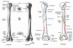 Anatomic Neck Of Humerus