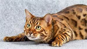 Orange Marble Bengal Cat - wallpaper.