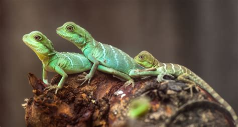 lagartijas alimentacion habitat  curiosidades