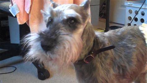 Year Old Miniature Schnauzer You