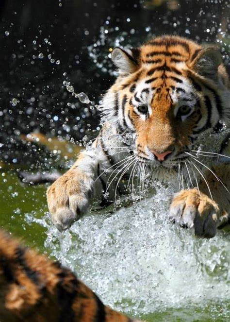 Best Images About Kawaii Animals Tigerlily The Tiger