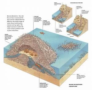 Eli5  Why Do Beavers Make Dams    Explainlikeimfive