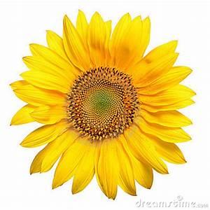 Bright Yellow Sunflower Stock s Image