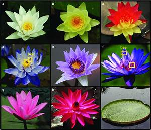 Water Lilies Are Ornamental Plants With Beautiful Flowers