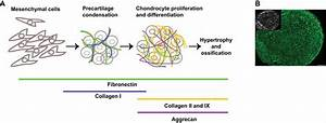 Fibronectin And Stem Cell Differentiation  U2013 Lessons From