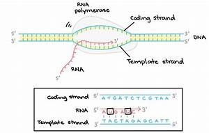 image result for template strand genetics genomics With what is the template strand