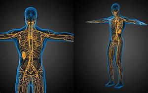 The Lymphatic System  Cbd Oil  And Detoxification  U2022 Green