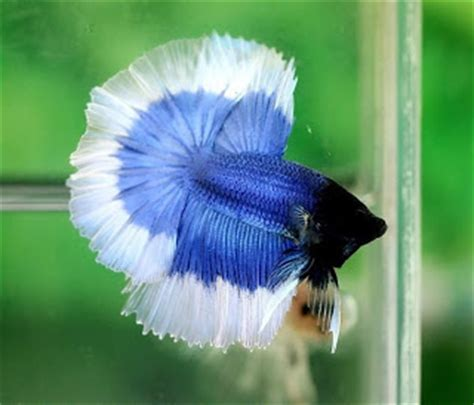 brunei bettas