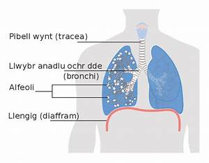 File Diagram Showing The Lungs Including The Alveoli Cruk
