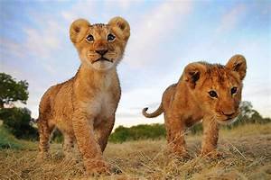 What is a baby lion called