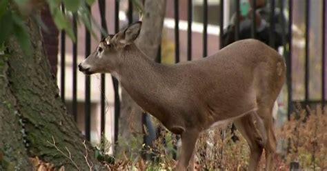 deer caught   york city park dies  waiting