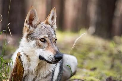 Wolf Shepherd German Mix Wolfdog Dogs Dog