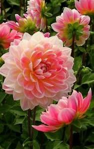 Langage Des Fleurs Pivoine : pingl par chahinez galoul sur belles plantes ~ Melissatoandfro.com Idées de Décoration
