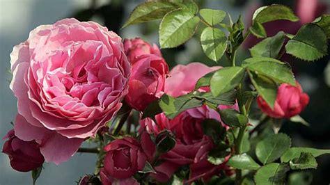 So Finden Sie Die Passende Rosensorte by Im K 252 Bel Pflanzen Tipps Zur Rosenpflege Im Topf
