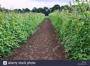 Runner Beans Plants Growing In A Farm Stock Photo