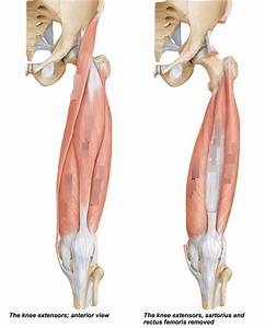 Knee Muscles Quizlet