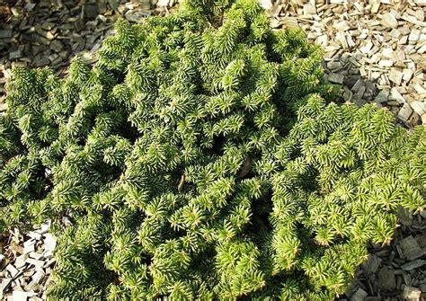 koniferen schneiden wann koniferen schneiden wann koniferen schneiden 4 schnitte in 2 jahreszeiten koniferen pflanzen