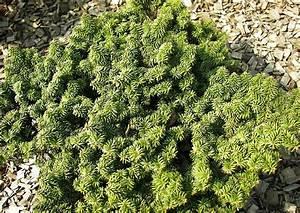 Weidenruten Zum Pflanzen Kaufen : koniferen 005 schneiden pflanzen kaufen pflege abies ~ Eleganceandgraceweddings.com Haus und Dekorationen