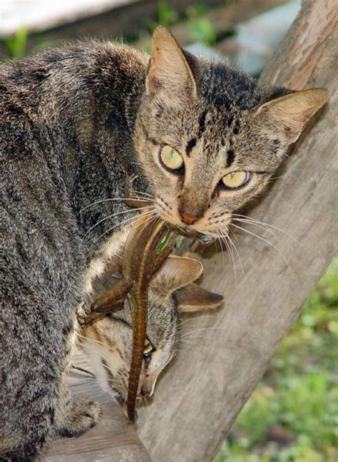 lizard cat eating ms gail belize larger version photogallery ambergriscaye